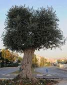 Olive tree symbol peace — Foto de Stock