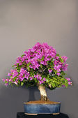 Bougainvillea. — Stock Photo