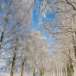 Frost covered birch tree - Stock Photo