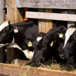 Cows in feeding place — Stock Photo
