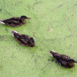 Ducks in in green morass — Stock Photo