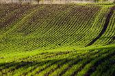 Winter crop field — Stock Photo