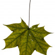 Stock Photo: Maple leaf isolated on white