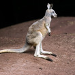 Stock Photo: Standing kangaroo