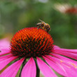 Stock Photo: Working bee on flower