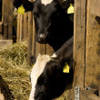 Cows in feeding place — Stock Photo #2511927