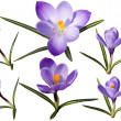Colection of crocus flowers - Stock Photo