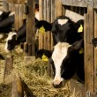 Cows in feeding place — Stock Photo #2511932