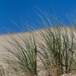 Stock Photo: Beach Grass in sand dunes