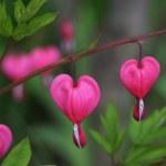 Bleeding heart flower — Stock Photo