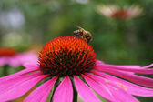 Working bee on flower — Stock Photo