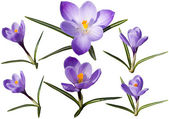 Colection of crocus flowers — Stock Photo