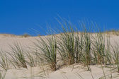 Beach Grass in sand dunes — Stock Photo