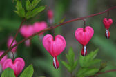 Bleeding heart flower — Stock Photo