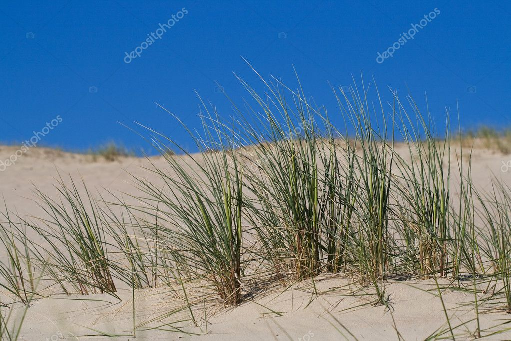 Marram Grass, Bent or Beach Grass in sand dunes near Baltic sea — Stock Photo #2512098