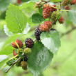 Mulberries — Stock Photo #2496634