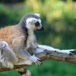 Lemur monkey — Stock Photo #2510541