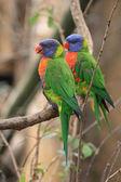 Color parrots — Stock Photo