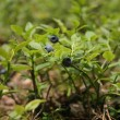 Blueberries — Foto de Stock