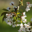 Spring apple tree flowers — Stockfoto
