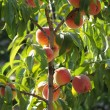 Stock Photo: Peach tree