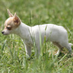 Small chihuahua — Stock Photo #2555040