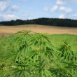 Marijuana field — Stock Photo
