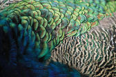 Feather texture — Stock Photo