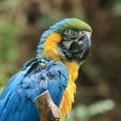 blue parrot — Stock Photo