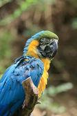 Blue parrot — Stock Photo