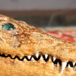 Old crocodile — Stock Photo