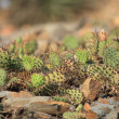 Cactus texture — Stock Photo