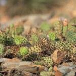 Cactus texture — Stock Photo