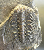 Trilobite background frm the national museum in Prague — Stock Photo