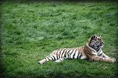 только тигр — Стоковое фото