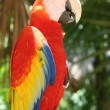 Scarlet Macaw Parrot - Stock Photo