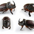 Rhinoceros beetle — Stock Photo