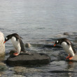 Stock Photo: Two Gentoo Penguins