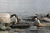 Two Gentoo Penguins — Stock Photo