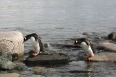 Two Gentoo Penguins — Stock Photo
