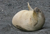 Young Elephant Seal — Stock Photo