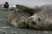 Two Elephant Seals — Stock Photo