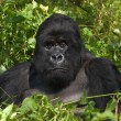 Mountain gorilland silverback — Stock Photo #2560758
