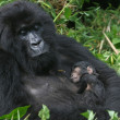 Mountain gorilla,rwanda — Stock Photo