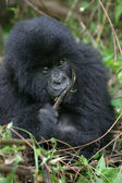 Mountain Gorilla, Rwanda — Stock Photo
