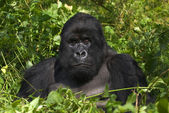Mountain gorilla and silverback — Stock Photo