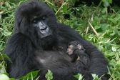 Mountain gorilla,rwanda — Stock Photo