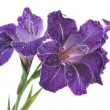 Blue gladiolus — Stock Photo