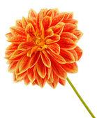 Flower of georgina — Stock Photo