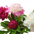 Stock Photo: Colorful peony